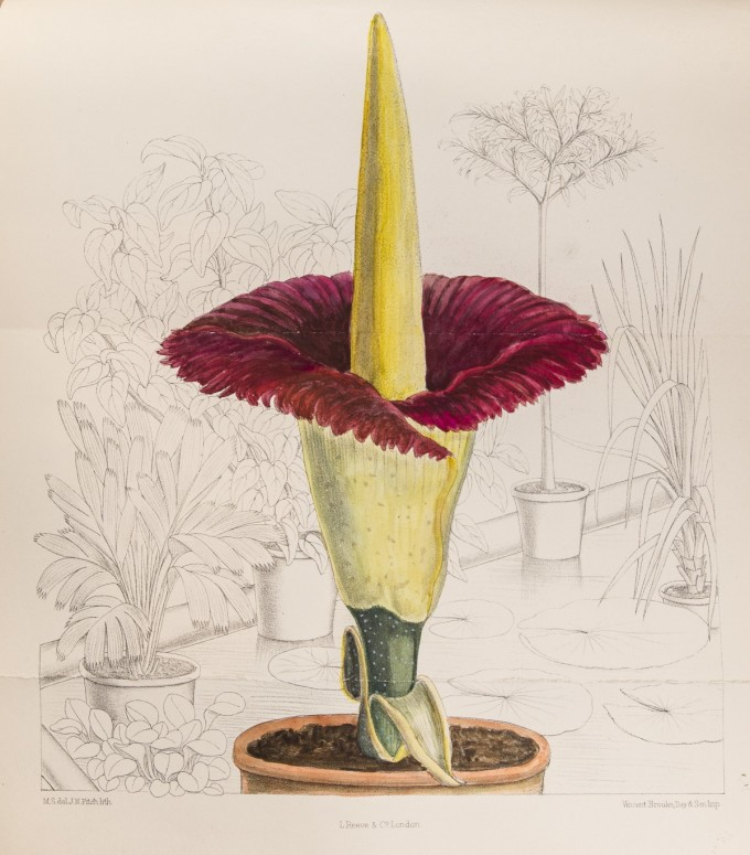 corpse-plant-blooming-e1443506180882