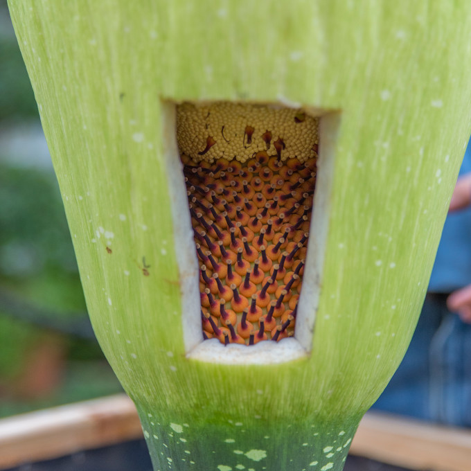 titan-arum-pollination-window