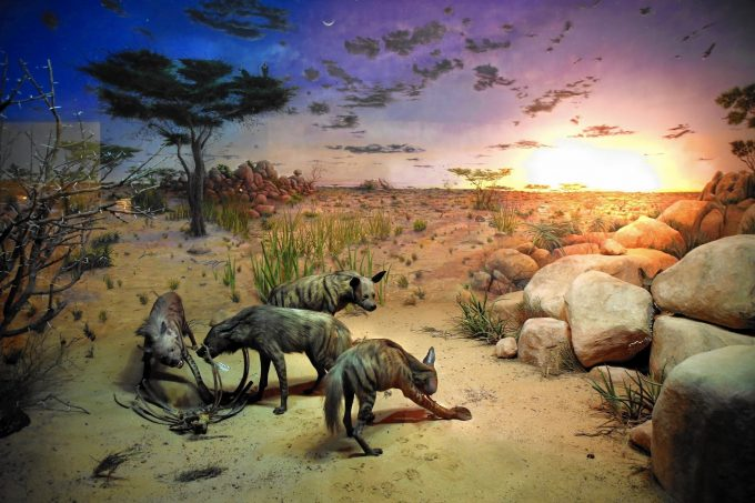 Field Museum's Striped Hyena Diorama